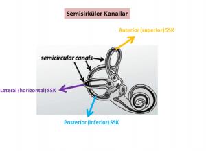 Semisürküler kanallar