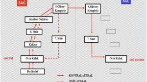 Akustik-refleks-arkı-şeması